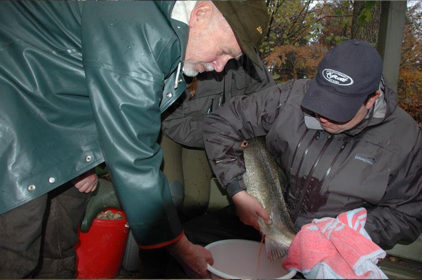 Lachsvater Hartwig Hahn (links) und ein ehrenamtlicher Helfer beim Abstreifen eines Meerforellen-Rogners