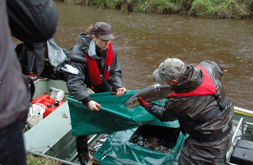 Ehrenamtlichen Helfer beim Laichfischfang im Oberlauf der Stör